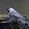 Mountain Chickadee, Lonesome Duck Ranch, Chiloquin, OR