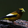 Evening Grosbeak, male, Lonesome Duck Ranch, Chiloquin, OR.