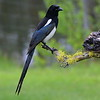 Black-billed Magpie, Lonesome Duck Ranch, Chiloquin, OR.