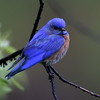 Western Bluebird, male, Lonesome Duck Ranch, Chiloquin, OR
