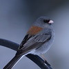 Dark-eyed Junco,  Ivy's yard, Silverthorne, CO