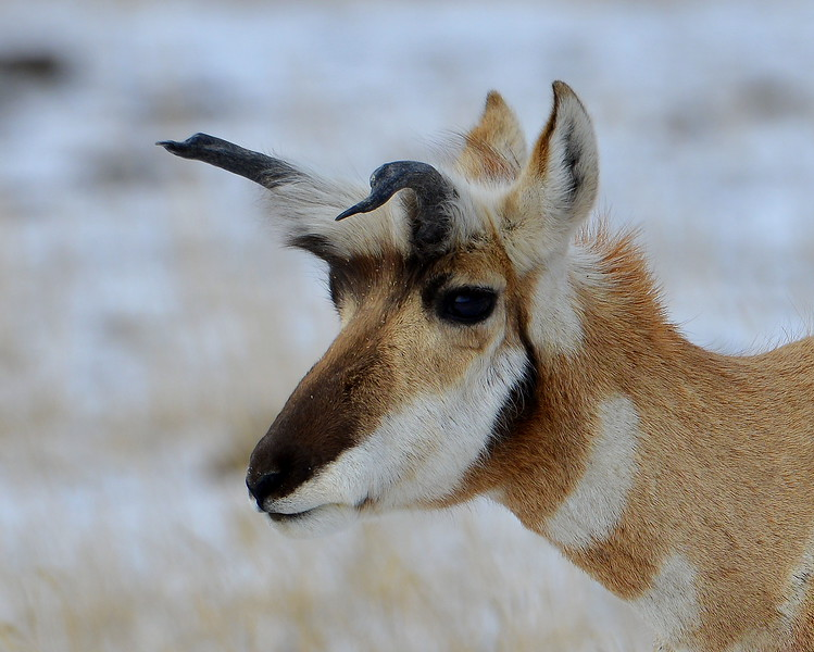 This Pronghorn is a little like Rudolph. the other Pronghorns tended to avoid him.  Deformed horns?