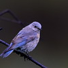 Western Bluebird, female, Lonesome Duck Ranch, Chiloquin, OR