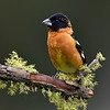 Black-headed Grosbeak, male, Lonesome Duck Ranch, Chiloquin, OR.
