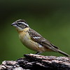 Black-headed Grosbeak, female, Lonesome Duck Ranch, Chiloquin, OR.