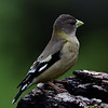 Evening Grosbeak, female, Lonesome Duck Ranch, Chiloquin, OR.