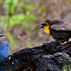 Steller's Jay and Yellow-headed Blackbird, female, Lonesome Duck Ranch, Chiloquin, OR