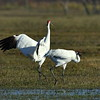 Whooping Cranes, near Goose Island State Park.