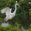 Great Egret Building Nest