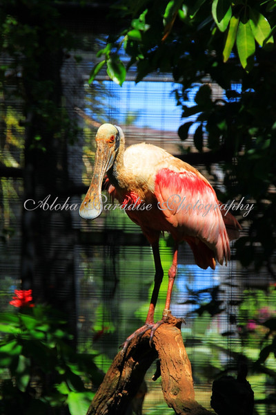 ROSEATE SPOONBILL, HONOLULU ZOO, OAHU