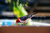 RED CRESTED CARDINAL, OAHU