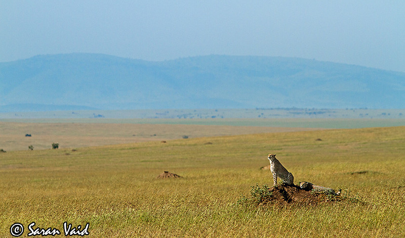 Cheetahscape  Cheetahs sitting on a termite mound in Masai Mara  Picture taken in Masai Mara National Park, Kenya