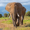 A Huge Tusker of Amboseli.<br /> <br /> Picture taken in Amboseli National Park, Kenya