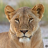 Lioness Portrait!!  Portrait of a beautiful lioness in Amboseli National Park, Kenya