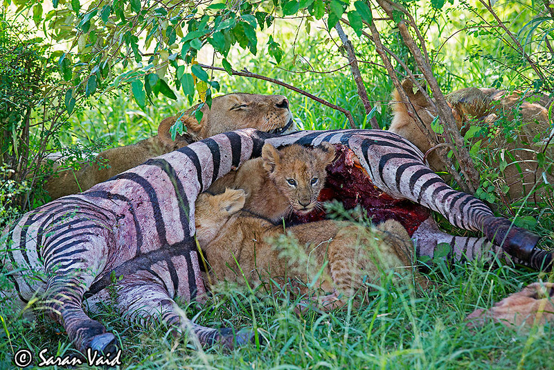 A Lion Pride enjoying a Zebra kill. Cubs are sitting inside the Zebra's rib cage.  Picture taken in Masai Mara National Park, Kenya