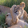 Tenderness!!  A young lion cub showing affection towards his mother.   Picture taken in Masai Mara National Park, Kenya