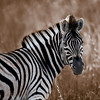 Zebra Right