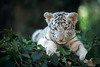 One Month Old White Siberian Tiger, Pantera tigris altaica, controlled conditions