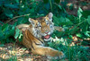Six-Month Old Siberian Tiger Cub, Pantera tigris altaica, controlled conditions