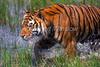 Tiger, Bengal Tiger, Walking through Water, Panthera tigris tigris, controlled conditions
