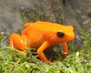 Mantela frogs - Amphibians - Native to South & Central America