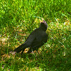 A looking-up robin :-)<br /> 12 Jul 2014
