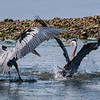 Great Blue Herons, Big Beef Creek, Seabeck, WA