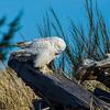Snowy Owl on the hunt. Ocean Shores, WA 01/20/2013.