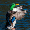 Male Mallard crowing. Titlow Pond, Tacoma, WA.