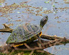 Red-Eared Slider on a Log in Elm Lake