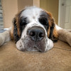 Sleepy St. Bernard