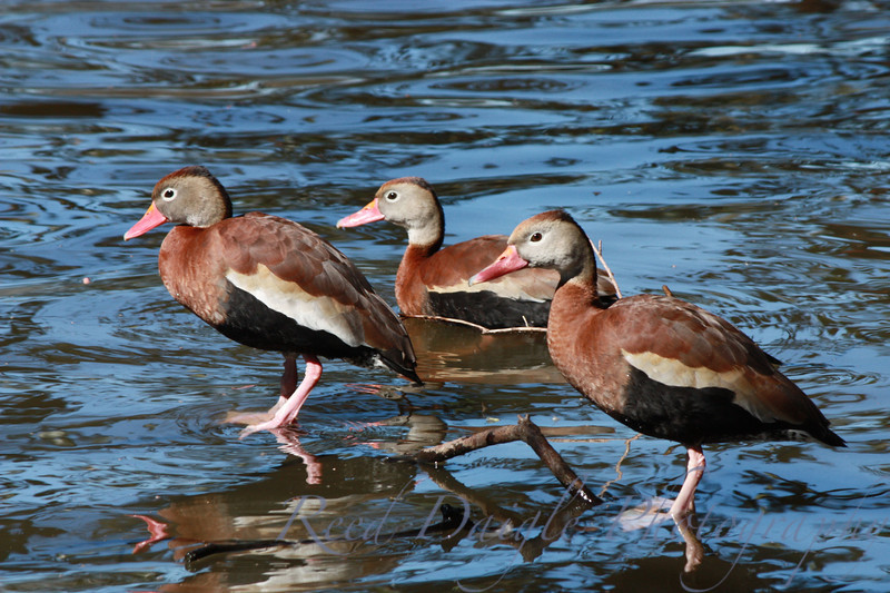 Three Black-bellied Whistling Ducks