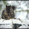 Snow-Covered Squirrel