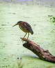Green Heron on Creekfield Lake