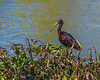 Glossy Ibis in Elm Lake
