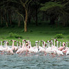 The greatest pink show on earth: pink flamingos in lake Nakuru in Kenya
