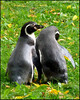 """PENGUINS IN LOVE 2"",Prague Zoo,Czech Republic."