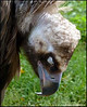 """CINEREOUS VULTURE 2"",sleeping,Prague Zoo,Czech Republic."