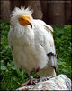 """EGYPTIAN VULTURE 3"",Prague Zoo,Czech Republic."