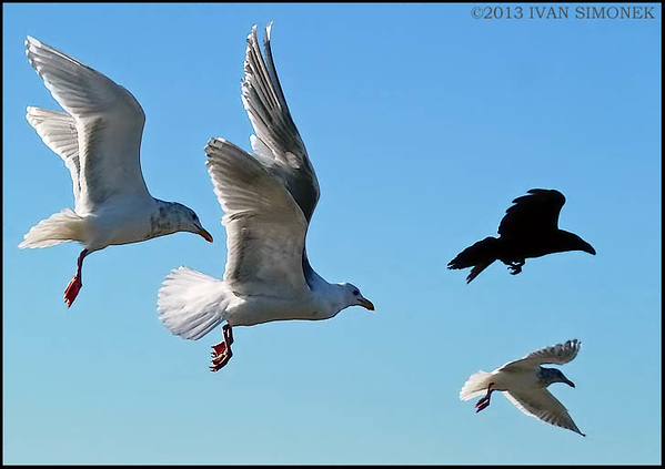 """HOT PURSUIT"",gulls chasing a crow,Alaska,USA."