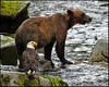 """The A team"",a Bald eagle and a Brown bear,Anan Creek,Alaska,USA."