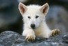 Young Arctic Wolf Pup, Canis lupus arctos, Controlled Conditions