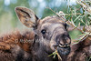 Young Baby Moose, Alces alces shirasi, in temporary foster home, Idaho, USA,  North America
