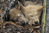 Three Young Gray Wolf Pups Sleeping, Canis lupus, Controlled Conditions