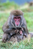 Mother and Baby, Snow Monkey, Japanese Macaque, Macaca fuscata, Royal Zoological Society of Scotland's Highland Wildlife Park, Kincraig, Scotland, United Kingdom, Asia