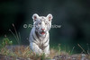 White Tiger Cub, Pantera tigris tigris, controlled conditions