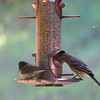 Dark-eyed Junco and House Finch