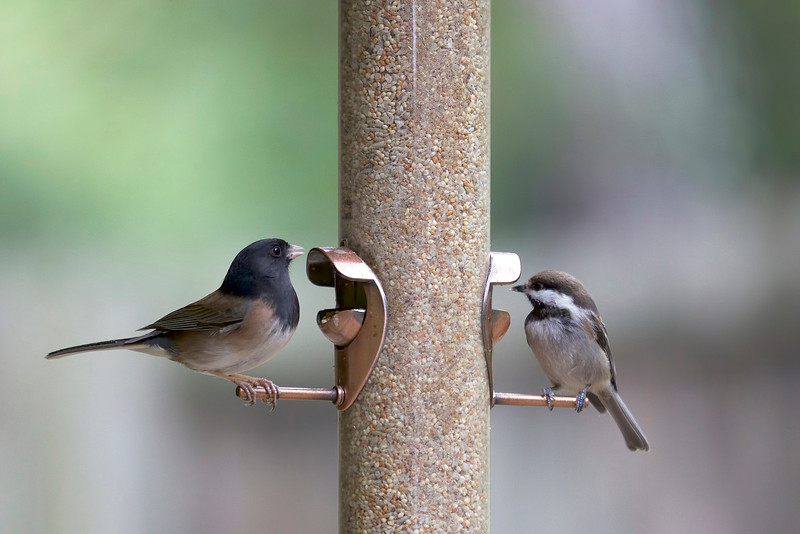 Dark-eyed Junco and Black-capped Chickadee