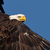 Getting in close with the Bald Eagle in flight