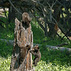 Black Bear Cubs Climbing Stump